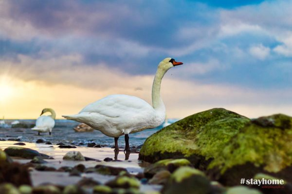 #stayhome - Landschaftsfotografie - Schwaan am Ostseestrand - Fotograf Rostock